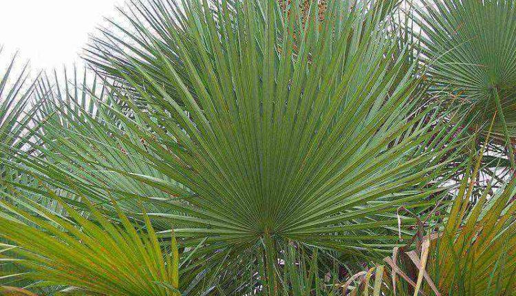 نخل اره ای یک گیاه اسپرم ساز